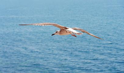 Seagull on sea background.