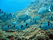 School of sea bream swimming