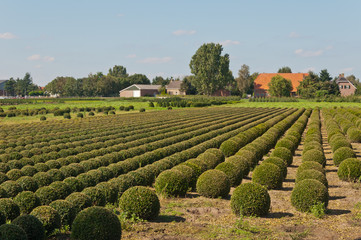 Tree nursery in the Netherlands