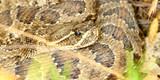 Prairie Rattlesnake (Crotalus viridis) poster
