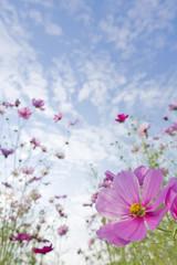 青空と秋桜