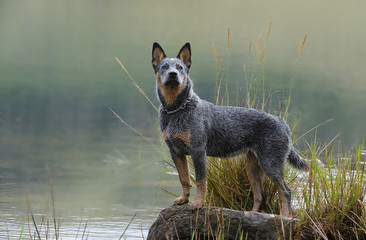 Australian Cattle Dog (aka Blue Heeler), Troutnip Pandablue,
