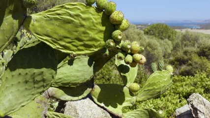 Cactus plants with indian figs