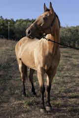 Cavallo elegante