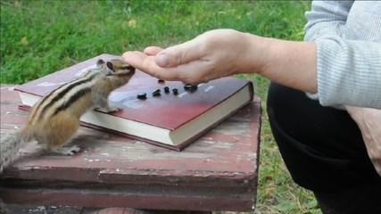 Общение с бурундуком (chipmunk)