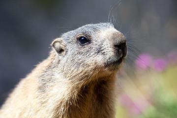 primo piano cucciolo di marmotta