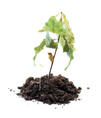 green shoots withered, death of growth, dead plant