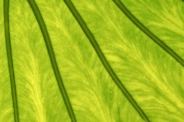Blattstruktur, durchleuchtet, grün