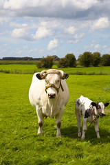dutch cow with blue sky and clouds