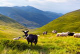 flock of sheep and goat in the mountains at summer - 35250550
