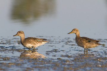 eurasian teal females on the lake (Anas crecca)