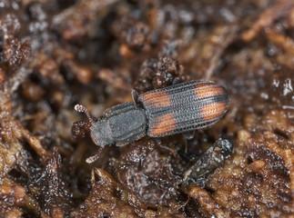 Wood living beetle on wood, extreme close up