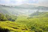 Tea Plantations at Cameron Highlands Malaysia. Morning fog.