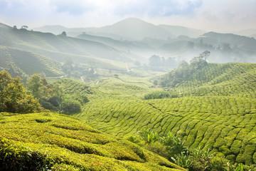 Tea Plantations at Cameron Highlands Malaysia. Morning fog.