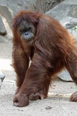 1109102 - Borneo-Orang-Utan