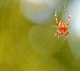 araignée toile