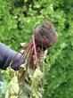 récolte des betteraves au jardin potager