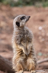 Meerkat Suricata suricatta