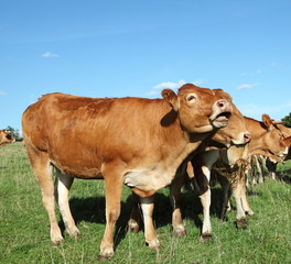 Singing Limousin Cow In Pasture