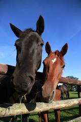 Pferde am Zaun auf einer Koppel