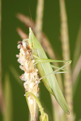 Long Nosed Grasshopper on Stalk of Elephant Grass Bloom