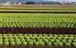 champs de culture de salades