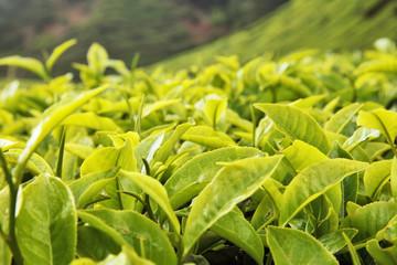 Tea bud and leaves. Tea plantations, Cameron Highlands Malaysia.