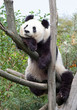 The giant panda in zoo