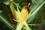 Maiskolben im Maisfeld