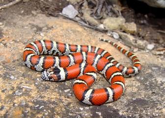 Juvenile Red Milk Snake, Lampropeltis triangulum syspila