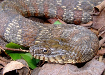 A large Northern Water Snake, Nerodia sipedon