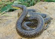 Large snake-eating Kingsnake, Lampropeltis getula holbrooki