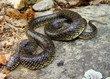 Common Kingsnake, Lampropeltis getula holbrooki subspecies