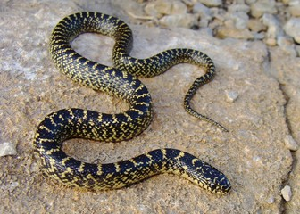 Speckled Kingsnake (King Snake), Lampropeltis getula holbrooki