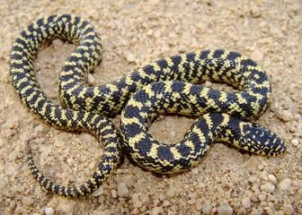 Yellow baby Kingsnake, Lampropeltis getula holbrooki