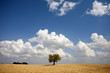 single tree in the field - Alentejo - Portugal