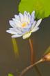 Close-up of beautiful violet lotus
