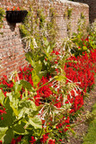 Salvias and Nicotiana against a wall