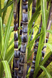 Sugar cane plant