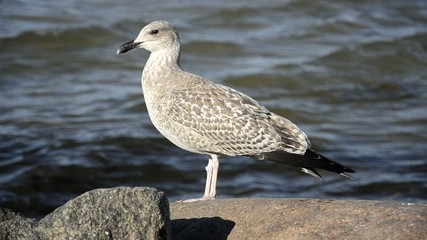 Seagull standing on a rock near the sea, close up