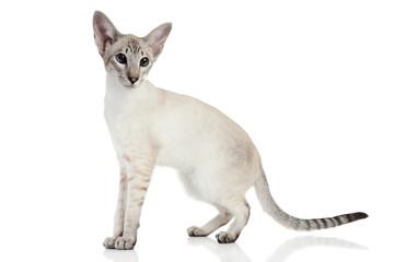 Oriental Blue-point siamese cat