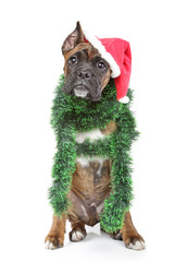 Boxer dog waits for the holiday