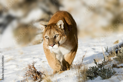Fotobehang Puma Mountain Lion