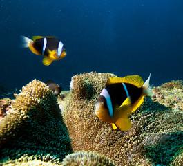 Damsel fishes