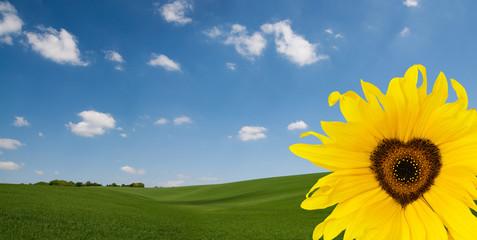 sunflower heart landscape
