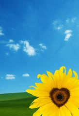 concept sunflower