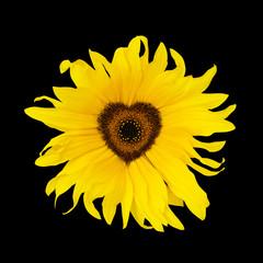 sunflower heart black