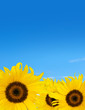 sunflowers blue sky