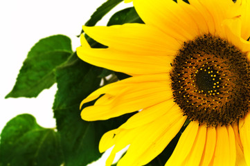 vivid sunflower