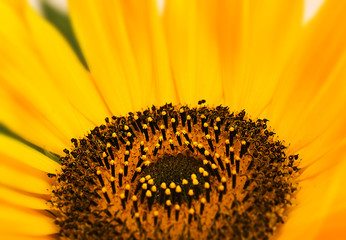 macro sunflower